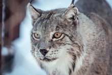 Wild Dangerous Lynx Running On Rock Hill In Sunny Day In Les Angles, Pyrenees, France