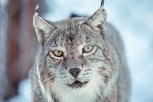 Wild Dangerous Lynx Running On...