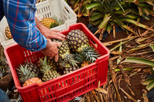 Crop Farmer Collecting Ripe Pineapples