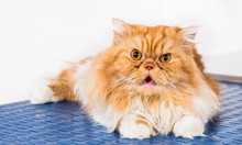 Persian Breed Cat On The Blue Table