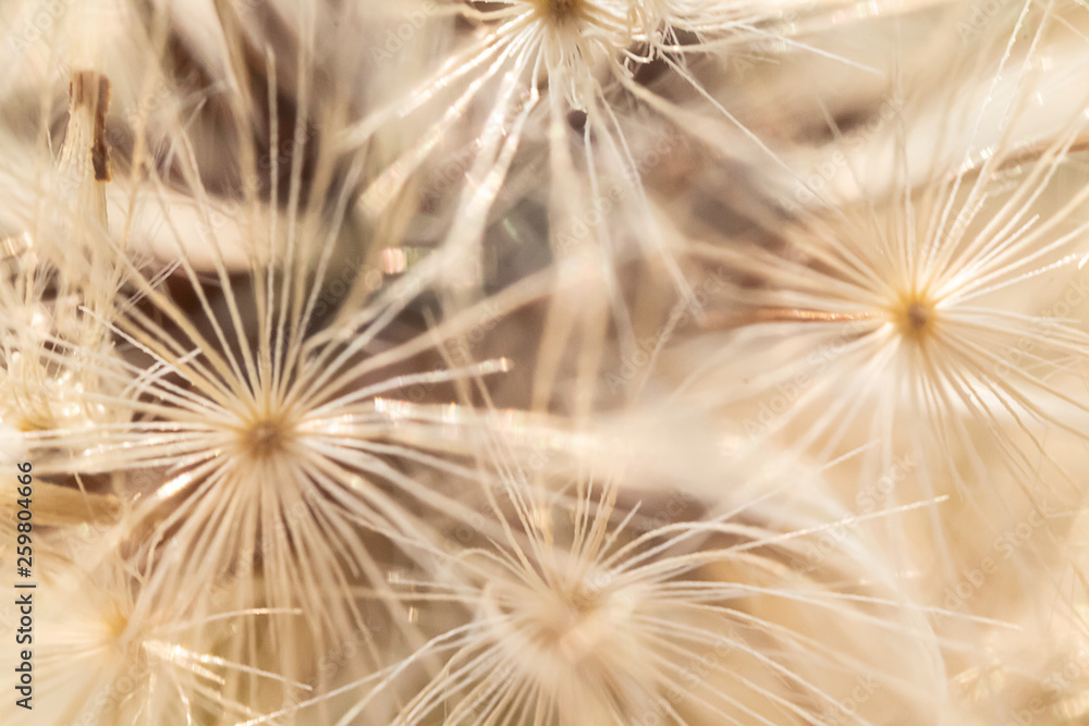 white and beige dandelion seed pattern