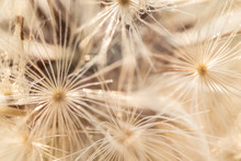 White And Beige Dandelion Seed...