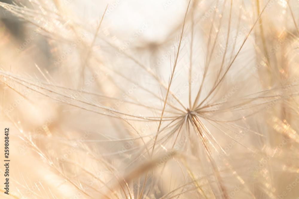Fototapety, obrazy: sparkly dandelion micro macro dandelion