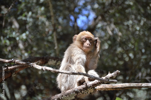 Photo  Barbary Ape from Azrou, Morocco