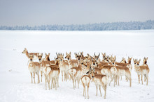 Wild Colorado Pronghorn Herd
