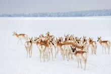 Wild Colorado Pronghorn Herd