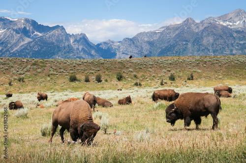 Deurstickers Buffel Grazing Bison - Grand Tetons National Park - Wyoming - Buffalo