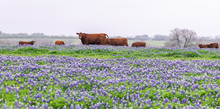 Field Of Wild Flowers With Cows
