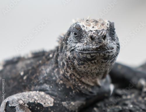 Fotografie, Obraz  Marine Iguana Galapagos sitting on rock with a smile