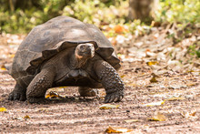 Galapagos Giant Tortoise Walki...