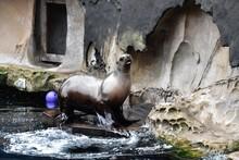 アシカのショウ Sea Lion Show At The Vancouver Aquarium
