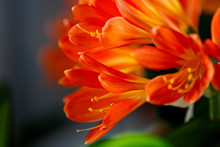 Beautiful Clivia Blooming With A Lot Of Small Orange Flowers On A Window