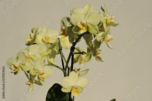 Fototapety, obrazy: A close-up of shiny yellow and green orchid flowers sparkling in the sunlight, green leaves, isolated on a white background