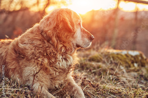 Stickers pour porte Pierre, Sable Lonely golden retriever lying in nature.