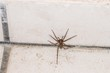 Riesige fette Spinne in einem Keller, Deutschland