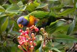 Fototapeta Na ścianę - rainbow lorikeet in a blooming tree