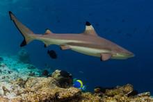 Blacktip Reef Shark (Carcharhi...