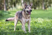 Beautiful German Shepherd Mix Dog Posing Outdoors