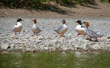 Common Mergansers On The Beach