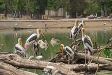 The Yellow-billed Stork (Mycteria Ibis), Sometimes Also Called The Wood Stork Or Wood Ibis, Is A Large African Wading Stork Species In The Family Ciconiidae