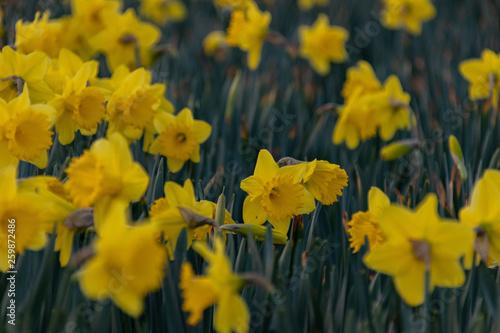 Garden Poster Narcissus Gele narcis
