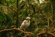 The African Spoonbill (Platalea Alba) On Branch