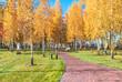View of the autumn birch grove in the Mezhigorye landscape park near Kiev, Ukraine.