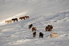 A Herd Of Icelandic Horses In Winter