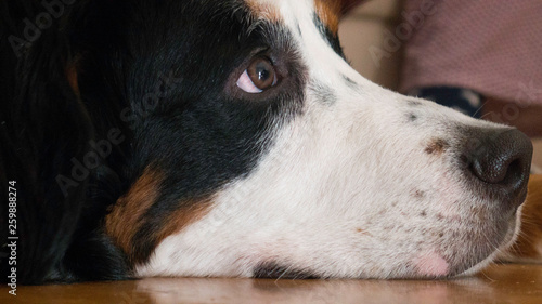 Fotografie, Obraz  Profile of a Bernard mountain dog lying on the floor