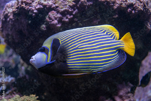 Fototapety, obrazy: Ange de mer impérial, poisson tropical