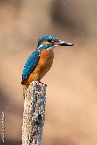 Obraz na plátně Common kingfisher