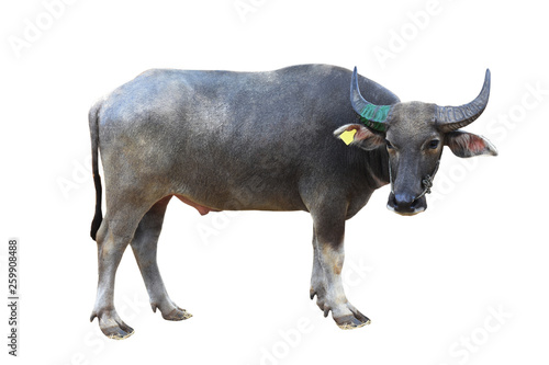 La pose en embrasure Bison The buffalo is standing on isolate background with clipping path.