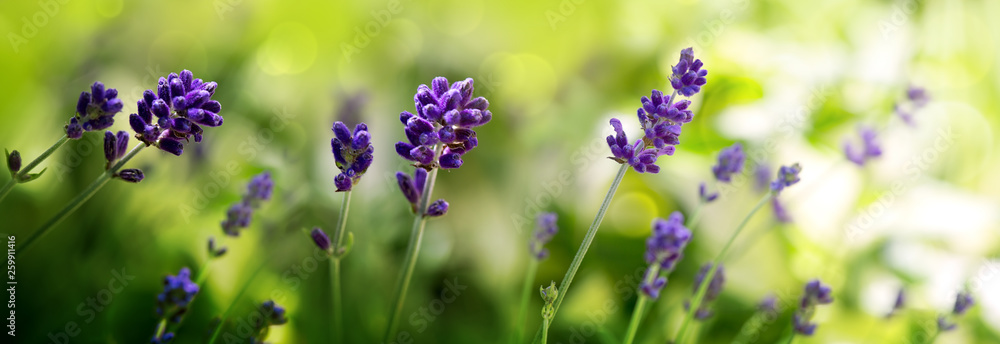 Fototapety, obrazy: Sunshine on blue lavender flowers. Nature background.