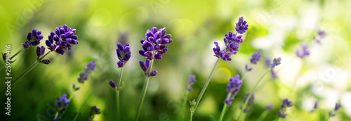 Cadres-photo bureau Lavande Sunshine on blue lavender flowers. Nature background.