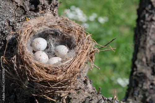 Fototapeta Nido di cardellino con uova