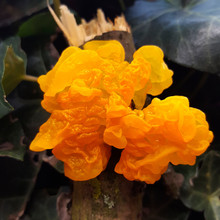 Jelly Fungus Yellow Brain (Tremella Mesenterica); Close-up