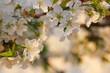 Macro shot on white cherry blossoms in spring garden.