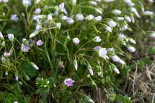 Spring Beauty, Claytonia Virgi...