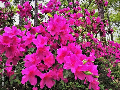Poster Rose Purple Azalea flower blooming in Home Garden, Springtime in GA USA.