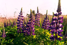 Flowers Of Lupinus In Bloom. Beautiful Flowering Meadow.