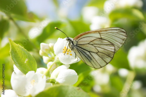 White butterfly Aporia crataegi on the flower Canvas Print