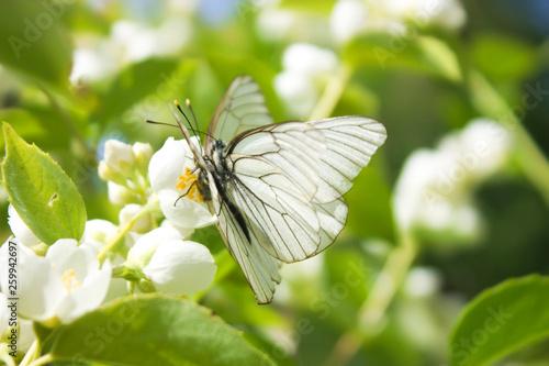 Mating of two white butterflies Aporia crataegi Wallpaper Mural
