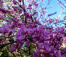 The Showy Redbud Flowering Tre...