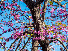 The Showy Redbud Flowering Tree Brunch