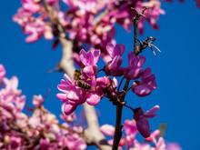 The Showy Redbud Flowering Tree Brunch