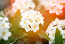 Spirea, Vanhouttei, Bridal Wreath, Snow Storm, Snow White, Snowmound. Close-up Of White Spirea Blossoms With Select Focus And Dark Speckled Green Blurry Background.