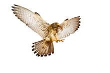 Flying Falcon. Isolated Birds....
