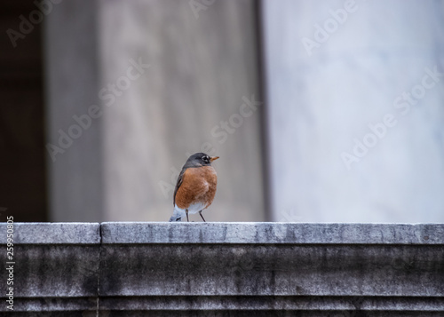 Robin redbreast with puffed up feathers, sitting on a ledge at the Jefferson Mem Wallpaper Mural