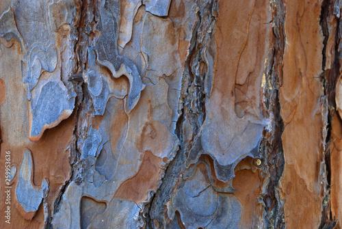 Fotografía  bark of pine tree trunk texture background