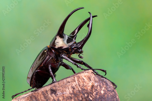 Fotografía  The Atlas beetle - Chalcosoma atlas